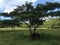 pasture-tree