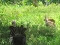 pasture-turkeys