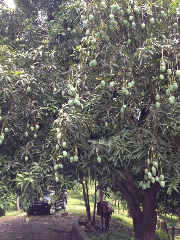 fruit-mangoes-624x832.jpg