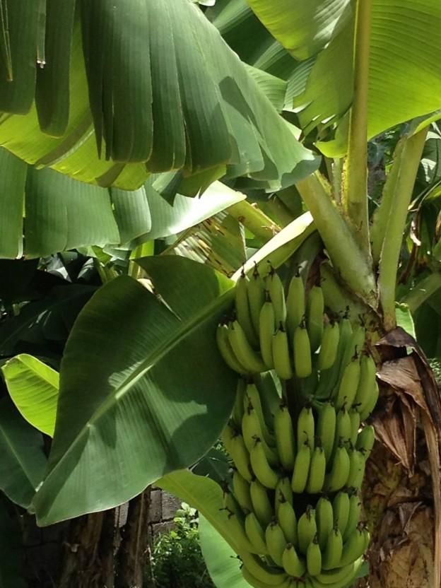 fruit-plantains-624x832.jpg